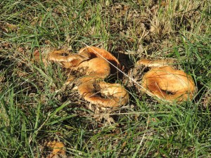 champignons Briange